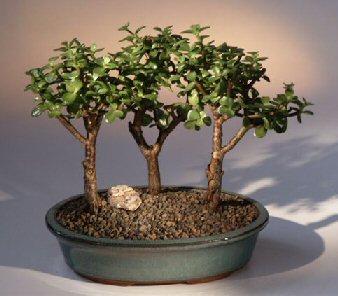 Baby Jade-3 Bonsai Tree Group (portulacaria afra)