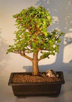 Baby Jade Bonsai Tree (Portulacaria Afra)