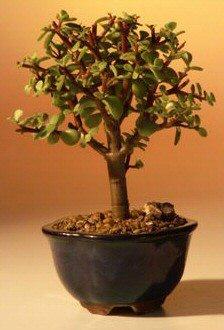 Baby Jade Bonsai Tree - Small Portulacaria Afra