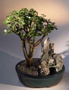Baby Jade Bonsai Tree - Stone Landscape Scene (portulacaria afra)