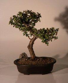 Baby Jade Bonsai Tree - Trained Extra Large (Portulacaria Afra)