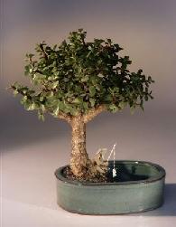 Baby Jade Bonsai Tree/Water Bonsai Pot Portulacaria Afra