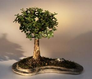 Baby Jade on Rock Slab Bonsai Tree (Portlacaria Afra)