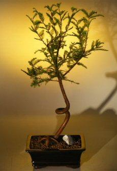 Bald Cypress Bonsai Tree - Coiled Trunk (taxodium distichum)