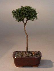 Blue Moss Cypress Bonsai Tree - Standard Upright (chamecyparis glauca minima)