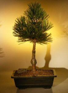 Bosnian Pine Bonsai Tree (pinus leucodermis compact gem)