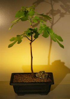 Brown Turkey Fig (ficus carica)