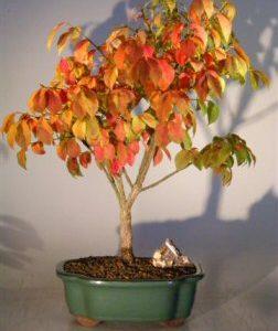 Burning Bush (euonymous 'little moses')