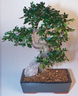 Chinese Elm Bonsai Tree-Extra Large (Ulmus Parvifolia)