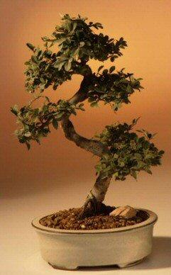 Chinese Elm Bonsai Tree Large (Ulmus Parvifolia)