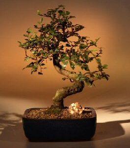 Chinese Elm Bonsai Tree-Medium (Ulmus Parvifolia)
