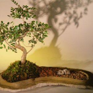 Chinese Elm Bonsai Tree On Rock Slab (ulmus parvifolia)