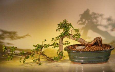 Chinese Elm Bonsai Tree - Semi Cascade Style (ulmus parvifolia)