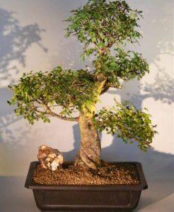 Chinese Elm Bonsai Tree (ulmus parvifolia)