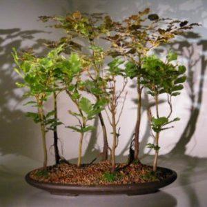 Copper Beech - 7 Tree Forest Group (fagus sylvatica 'purpurea')