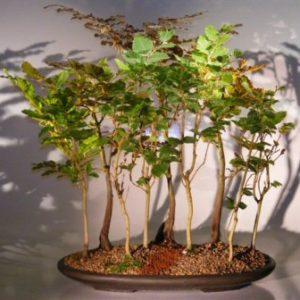 Copper Beech - 9 Tree Forest Group (fagus sylvatica 'purpurea')