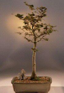 Copper Beech Bonsai Tree (fagus sylvatica 'purpurea')