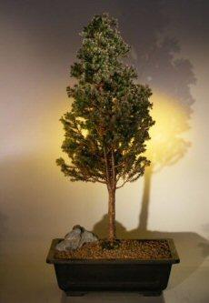 Cryptomeria Bonsai Tree (japonica - black dragon)