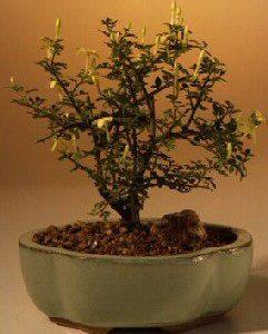 Dwarf Flowering Jasmine - Yellow (jasminum 'parkeri')