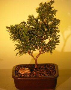 Dwarf Gold Dust Cypress Bonsai Tree (chamecyparis pisifera 'gold dust')