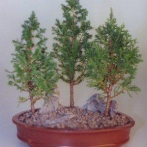 "Eastern White Cedar Bonsai Tree - 3 Tree Group (Chamecyparis Thoides Andelensis ""little jaime"")"