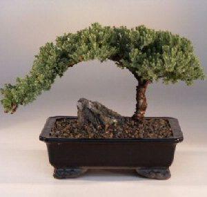 "FREE SHIPPING ON THIS TREE Juniper Bonsai Tree - Large (Juniper Procumbens ""nana"")"