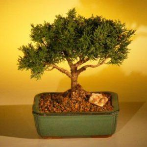 FREE SHIPPING ON THIS TREE Shimpaku Bonsai Tree Bonsai Tree - Large (shimpaku itoigawa)