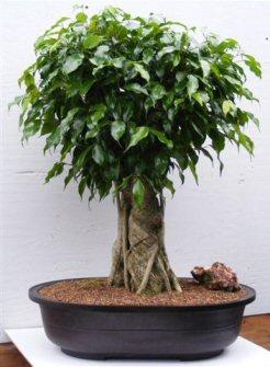 Ficus Banyan Bonsai Tree (ficus orientalis)