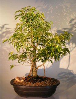 """Ficus Bonsai Tree - Banyan Style (ficus benjamina """"oriental"""")"""