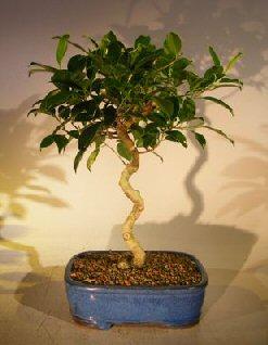 Ficus Bonsai Tree - Curved Trunk (ficus exotica)