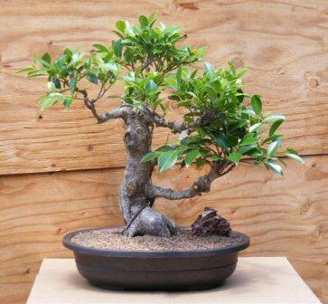 Ficus Bonsai Tree (ficus retusa)