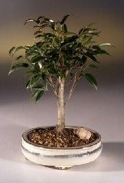 Ficus Midnight Bonsai Tree- Medium (benjamina 'midnight')