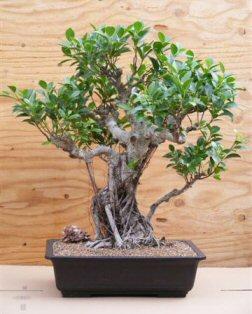 Ficus Retusa Bonsai Tree - Banyan Style (ficus retusa)