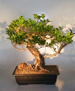 Ficus Retusa Bonsai Tree With Banyan Roots (ficus retusa)