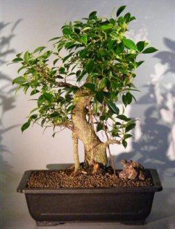 Ficus Retusa Bonsai Tree (ficus retusa)