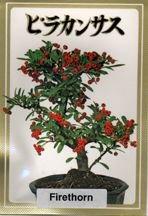 Firethorn Seeds