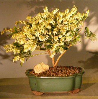 Flowering Andromeda Bonsai Tree - Variegated (pieris japonica variegata)