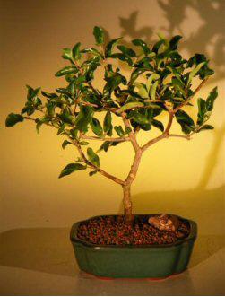 Flowering Barbados Cherry Bonsai Tree - Large (malpighia puncifolia)
