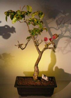 Flowering Bougainvillea (pink pixie)