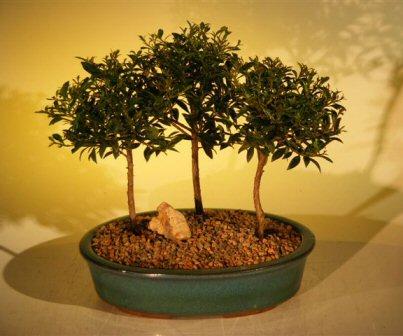 Flowering Brush Cherry Bonsai Tree Three (3) Tree Forest Group (eugenia myrtifolia)