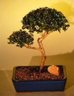 """Flowering Brush Cherry - """"POM-POM"""" Style Bonsai Tree (Eugenia Myrtifolia)"""