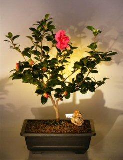 Flowering Camellia Bonsai Tree (camellia sasanqua 'yuletide')