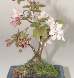 Flowering Crabapple (Malus Sargenti)