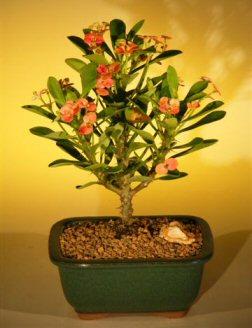 Flowering Crown of Thorns Bonsai Tree - Pink/Red (euphorbia milii)