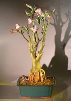 Flowering Desert Rose Bonsai Tree (Adenium Obesum)