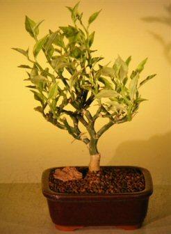 Flowering Devil's Backbone Bonsai Tree (pidilanthus tithymaloides - variegated)