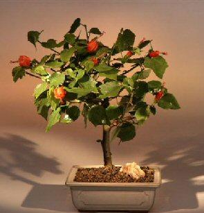 Flowering Dwarf Hibiscus - Medium (malvaviscus arboreus)