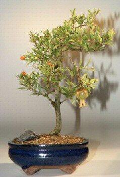 Flowering Dwarf Pomegranate - Large (Punica Granatum)