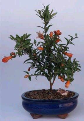 Flowering Dwarf Pomegranate - Small (Punica Granatum (nana)