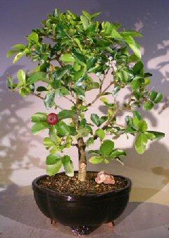 Flowering Dwarf Weeping Barbados Cherry Bonsai Tree - Large (malpighia Pendiculata)